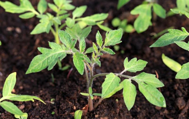Топ-5 стимуляторов роста для семян томатов. плюсы и минусы использования ускорителей и схема применения растворов