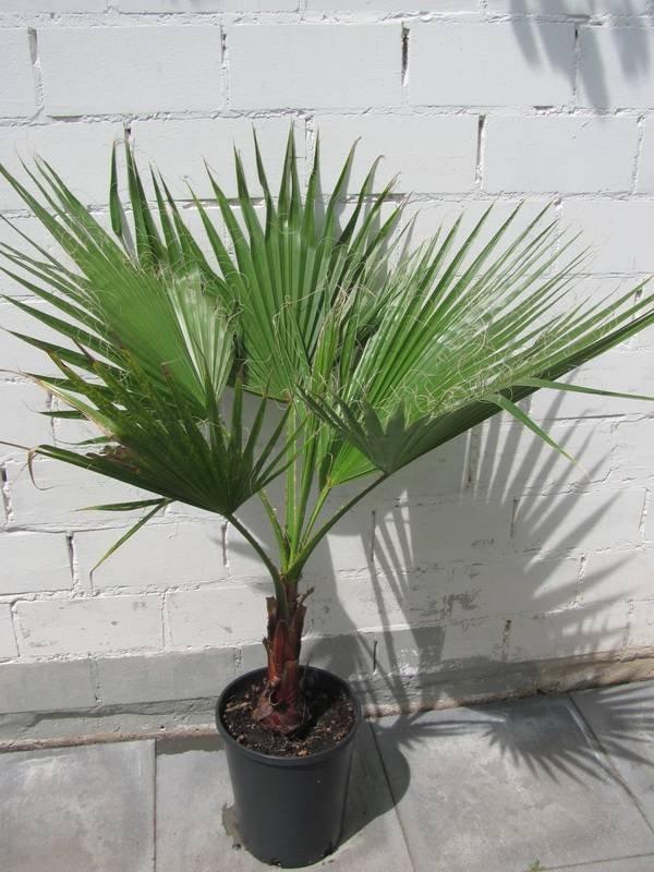 Вашингтония — самая массивная веерная пальма. уход в домашних условиях. фото — ботаничка.ru