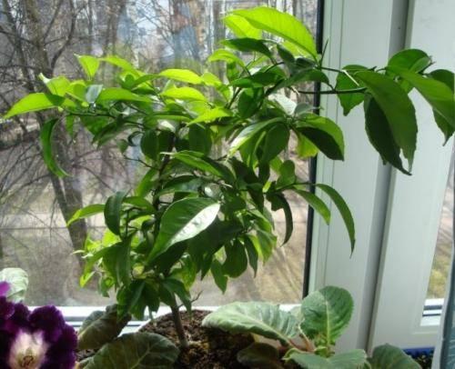 Дитя света и тепла — как вырастить апельсин из косточки в домашних условиях, как посадить, как привить, как ухаживать?