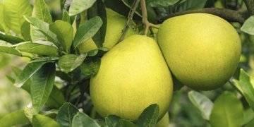 Калорийность помело: гликемический индекс, бжу в 100 граммах фрукта, состав