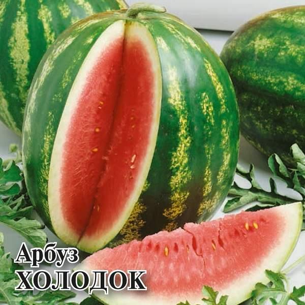 Сорт арбуза «холодок»