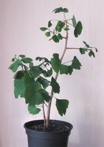 Гинкго билоба – особенности выращивания в горшке, варианты в ландшафтном дизайне