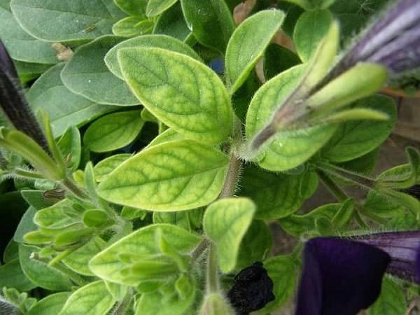 Почему у петунии бледно-зеленые листья: что делать, когда они белеют или светлеют, с чем это связано и как помочь растению, а также все меры профилактики selo.guru — интернет портал о сельском хозяйстве