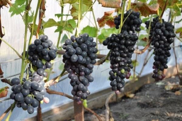 Молдавский сорт винограда шахтер отлично подходит для россии - сорта винограда, столовые | описание, советы, отзывы, фото и видео