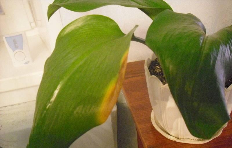 Эухарис: уход в домашних условиях, почему не цветет амазонская лилия, что делать, если желтеют и отмирают листья, фото