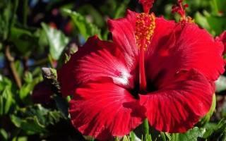 Гибискус: выращивание из семян в домашних условиях