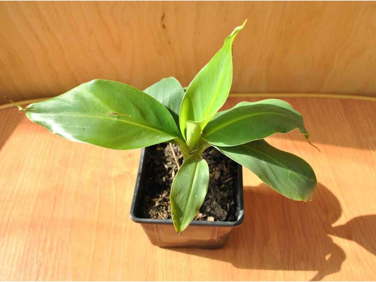 Как выращивать бананы в домашних условиях selo.guru — интернет портал о сельском хозяйстве