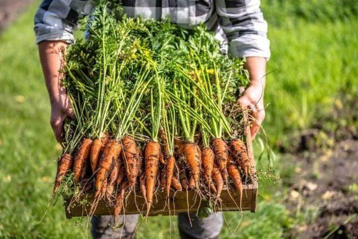 Когда сажать свеклу и морковь в 2021 году по лунному календарю?
