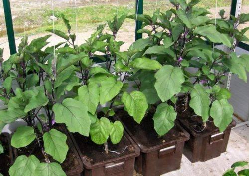 Баклажаны черный красавец: отзывы, описание сорта, выращивание и уход в открытом грунте