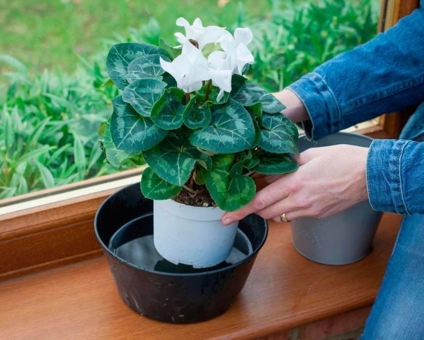 Как ухаживать за цикламеном в период покоя и цветения?