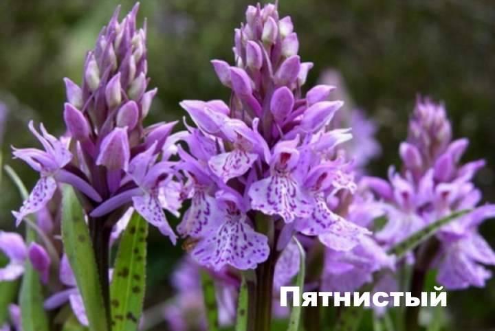 Ятрышник — применение травы в народной медицине