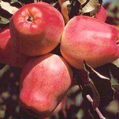 Сорт яблони кандиль орловский: описание, фото