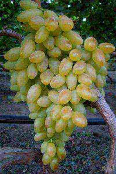 Описание виноград Находка
