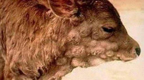 Демодекоз крс (коров): описание, симптомы, лечение