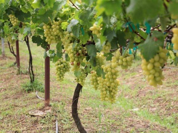 ᐉ мускат вира - столовый сорт винограда - roza-zanoza.ru