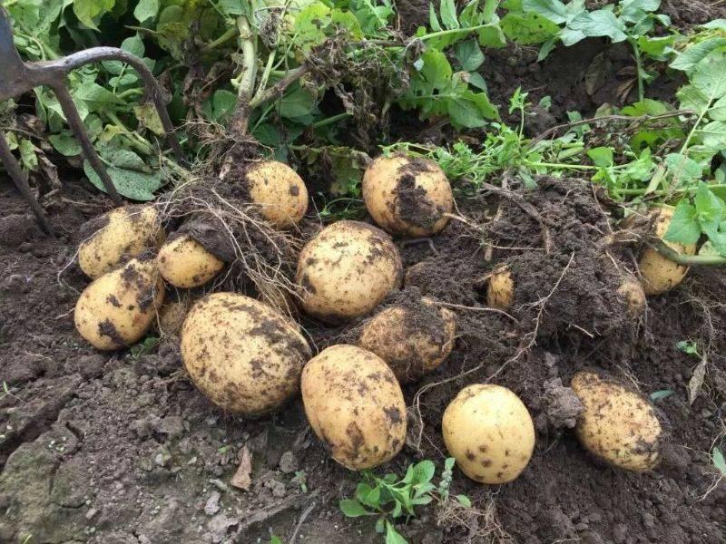 Лучшие сорта картофеля для выращивания на урале: вкусные, урожайные, ранние, средние, поздние, их описание, характеристика, фото