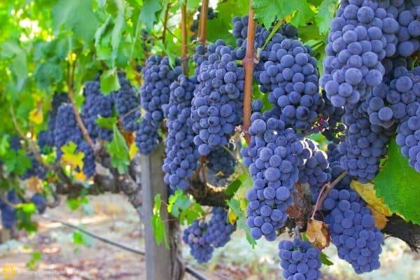 Виноград изабелла: когда и как сажать, уход
