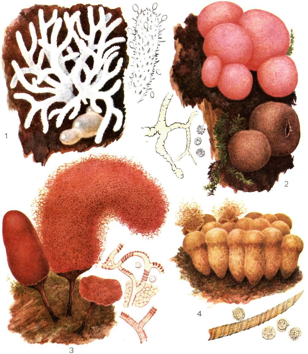 Гриб-слизевик в организме человека: лечение, диагностика