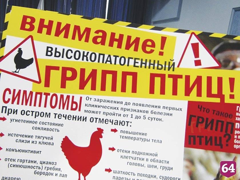 Петух чихнул. погубит ли приморцев птичий грипп?   здоровье   аиф владивосток