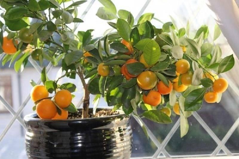Мандариновое дерево в горшке: особенности выращивания в домашних условиях - sadovnikam.ru