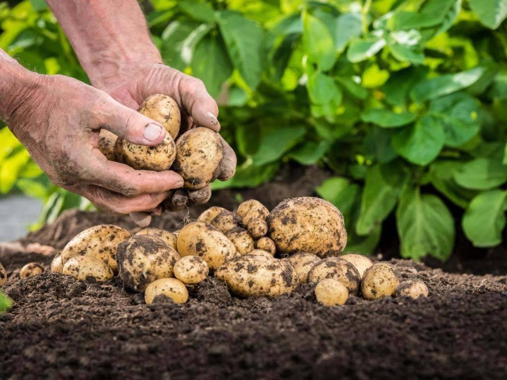 Удобрение при посадке картофеля   во саду и в огороде