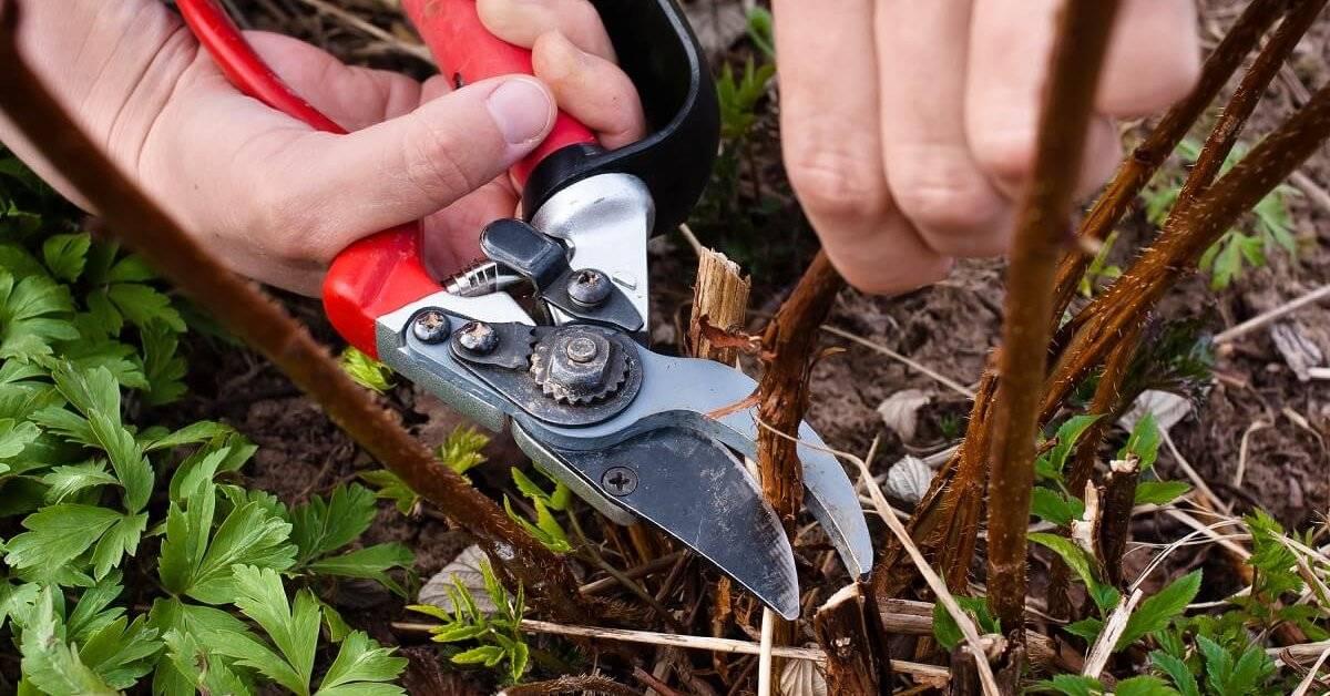 Правила обрезки и уход за ремонтантной малиной осенью для начинающих