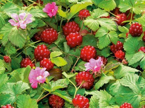 Княженика - фото и описание ягоды, свойства и отзывы о вкусе