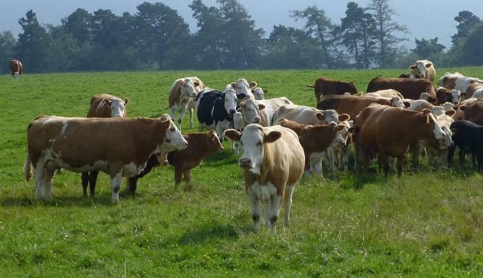 Характеристика симментальской породы коров