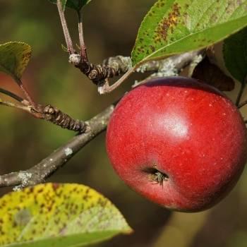 """Яблоня сорт """"башкирский красавец"""": описание, выращивание и уход"""