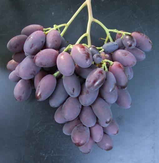 Описание винограда сорта каталония, правила посадки и ухода