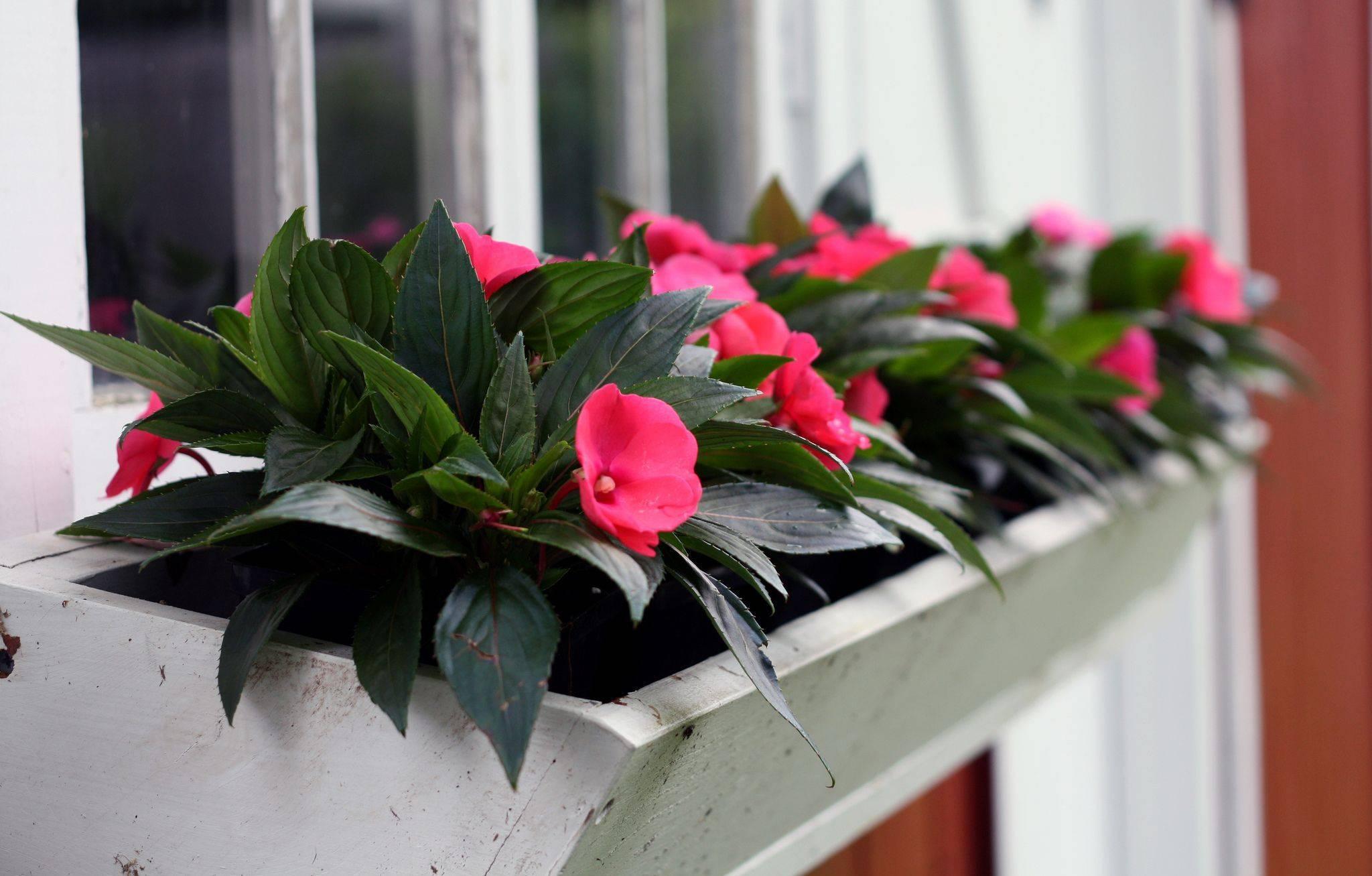 Популярные неприхотливые комнатные цветы цветущие круглый год