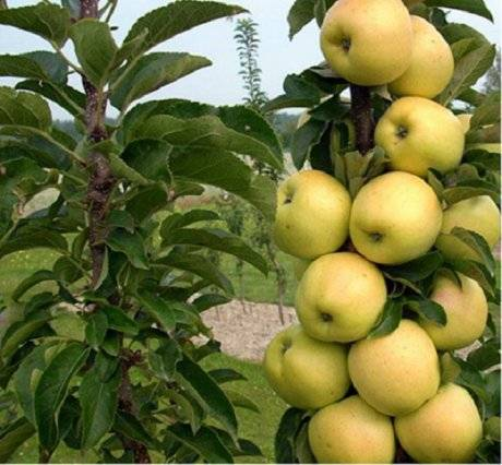 Лучшие сорта колоновидных яблонь для московской области