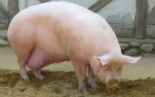 Опорос вьетнамских свиней первый раз: признаки и уход в домашних условиях
