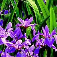 Ирисы весной: посадка в грунт, подкормка, пересадка и уход