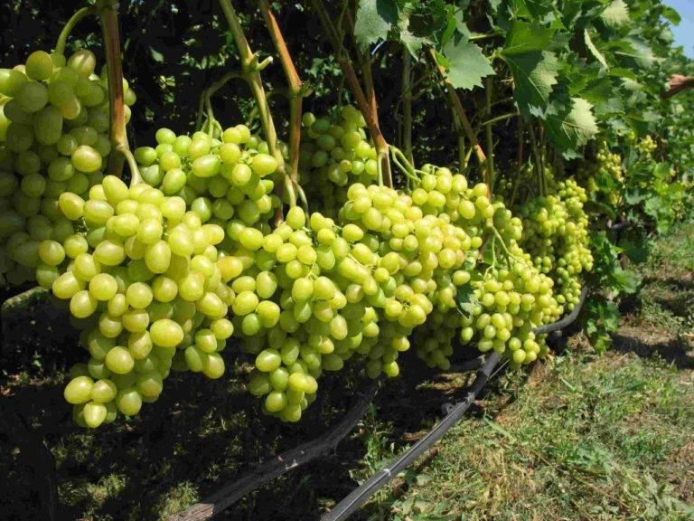 Виноград анюта: описание сорта, фото, отзывы, видео