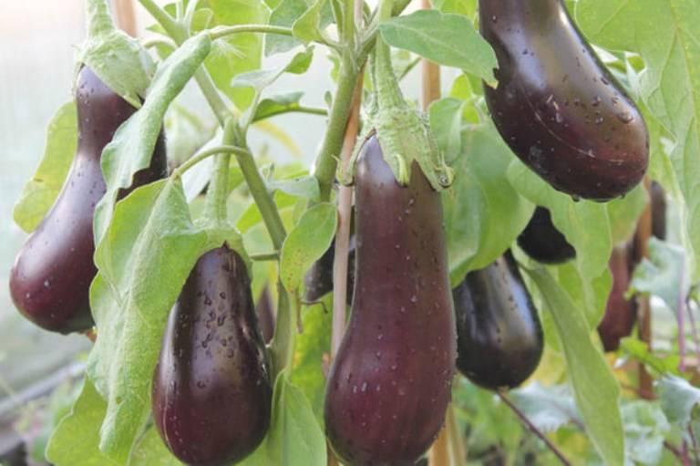 Выращивание баклажана чёрный красавец