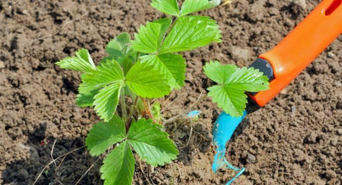 Какую почву любит садовая клубника: как подготовить для посадки, какая земля нужна, чем обрабатывать