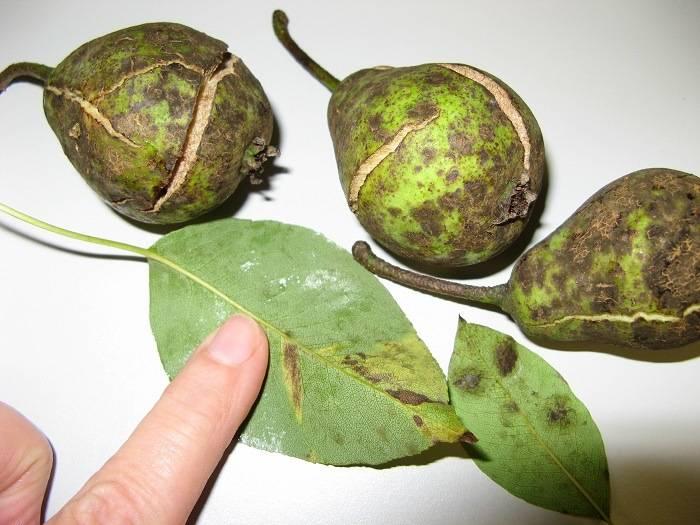 Как вылечить грушу от парши: описание, фото, лечение