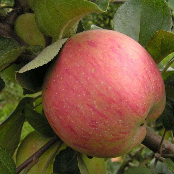 Сорт яблони штрифель: описание и агротехника