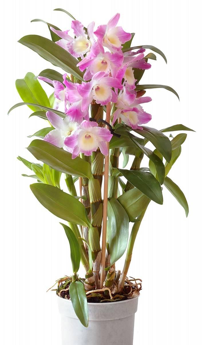 Виды орхидей для новичков, фото. как определить вид орхидеи? | сажаем сад