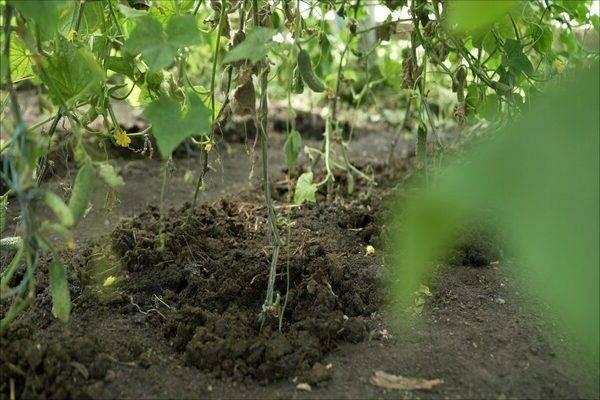Подкормка огурцов в теплице и открытом грунте: чем подкормить для урожайности