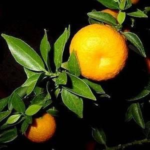 Померанец (горький апельсин): фото, экстракт, масло биттер, свойства фрукта, применение для похудения