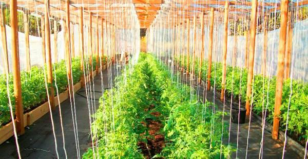 Как правильно подвязать помидоры в теплице из поликарбоната и открытом грунте