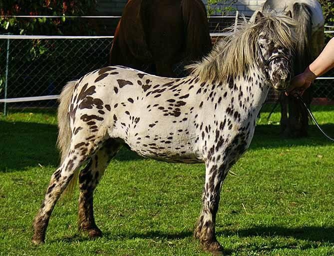 ✅ мини лошади миниатюрные карликовые описание виды - cvetochki-rostov-na-donu.ru