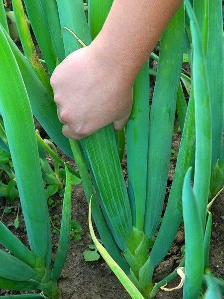 Лук батун посадка и уход в открытом грунте когда сажать семенами весной и под зиму лучшие сорта