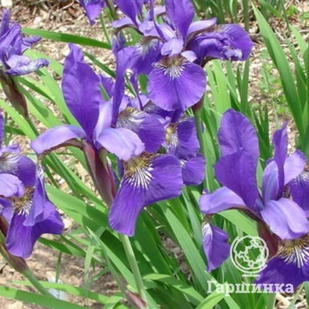 Посадка ирисов весной в грунт — подробная инструкция