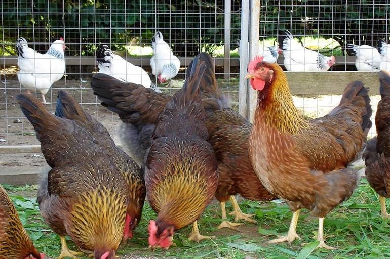 Яичные породы кур несушек – описание и преимущества