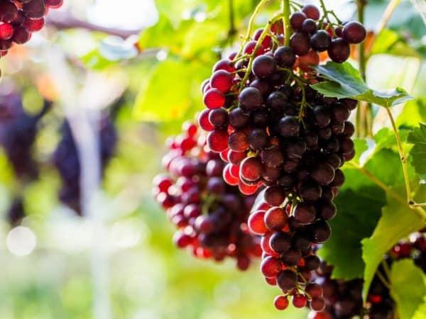 ᐉ сорт винограда левокумский - roza-zanoza.ru
