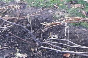 Уход за виноградом осенью, подготовка к зиме, обрезка, подкормка