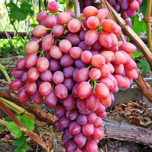 Виноград ландыш – сорт с уникальным вкусом